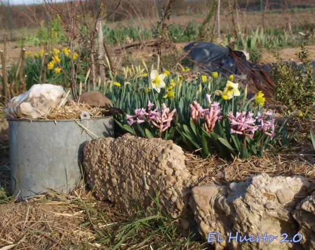 Con jacintos en flor