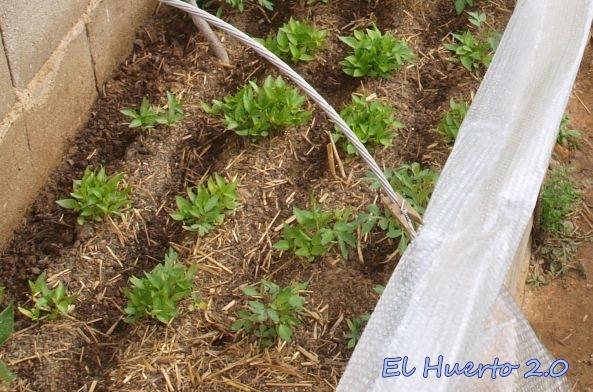 Semilleros de pimientos el huerto 2 0 - Tierra para semilleros ...