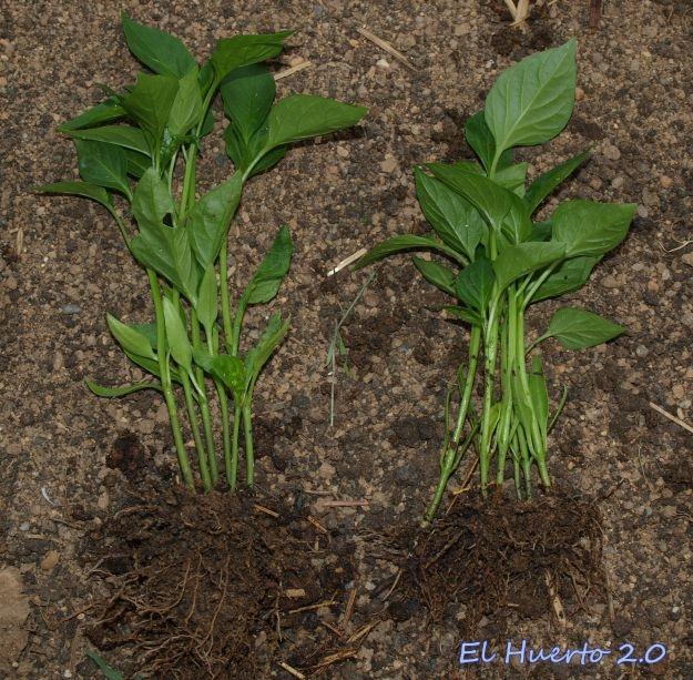 Plantas para el segundo trasplante