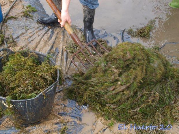 Sacando las algas