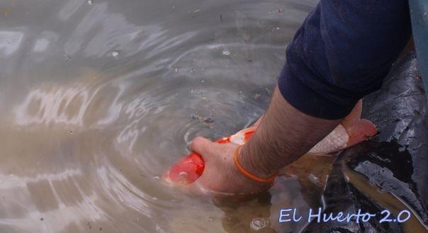 Soltándola en el agua