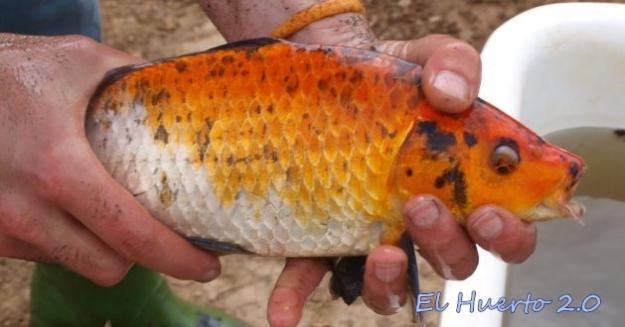 Trasladando la carpa naranja a un  deposito , mientras vaciamos el estanque