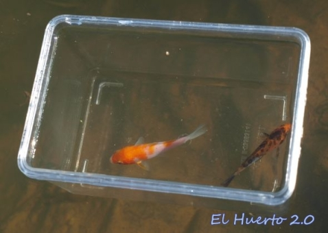 Flotando en un pequeña pecera, dentro del agua