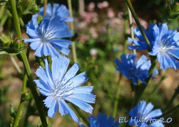 Achicoria en flor