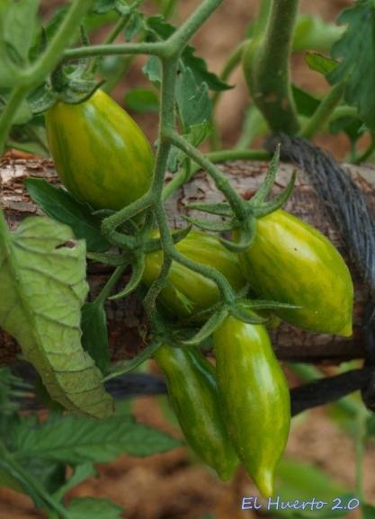 Tomates cherry verdes