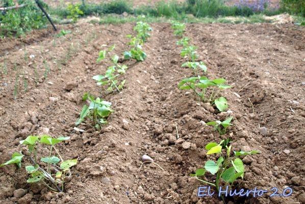 Hileras plantadas de boniatos