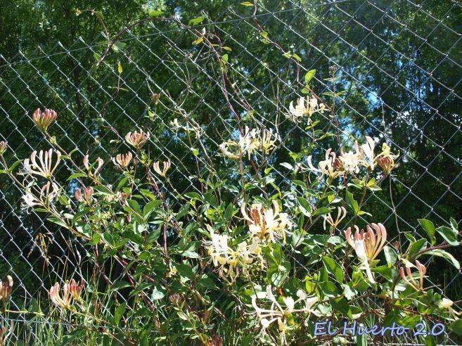 La madreselva en flor el huerto 2 0 - La madreselva ...