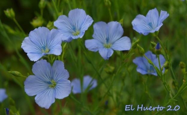 Flor de Linum usitatissimum