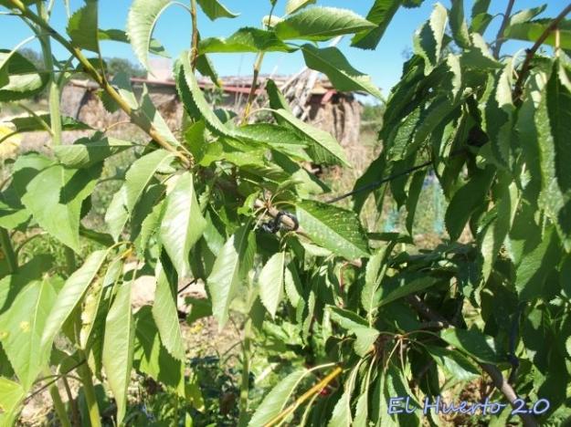 Atando las ramas de forma paralela