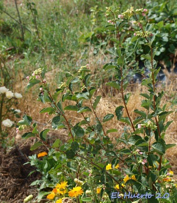 Uno de los arbustos en el huerto