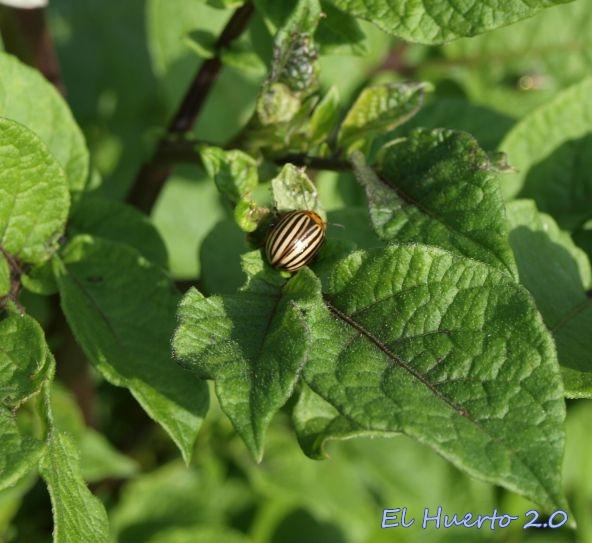 Alguno de los pocos escarabajos de este año