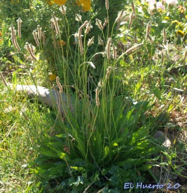 Plantago laceolata
