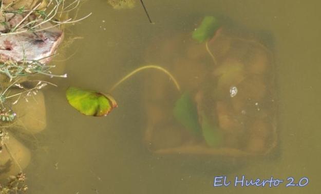 Nenúfar recien introducido en el estanque