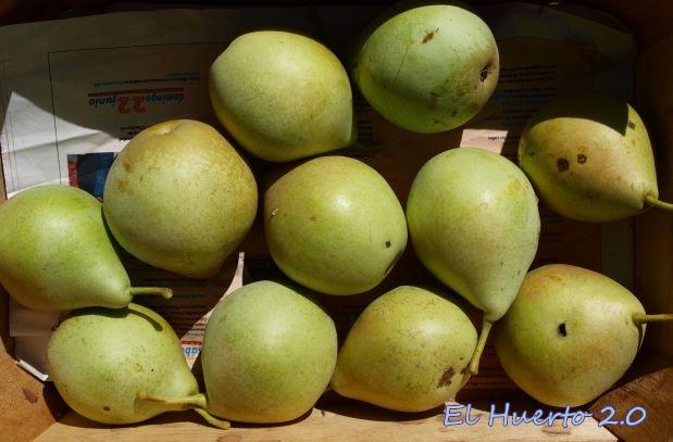 Recogimos  varias cajitas de peras