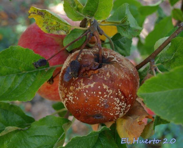 Manzana atacada por la Monilia Laxa