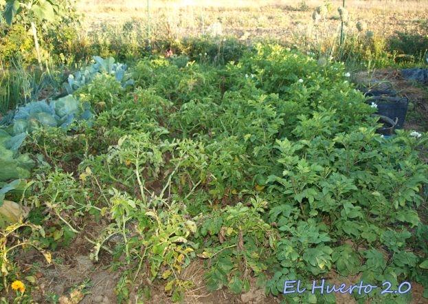 Cultivo de patatas afectado