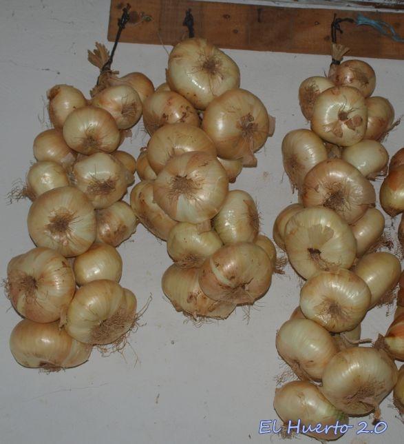 Riestras de cebolla blanca