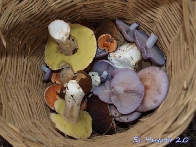 Comenzamos a llenar la cesta: Boletus, algunos níscalos y pie azul