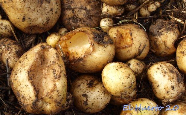 Patatas de la paja roídas