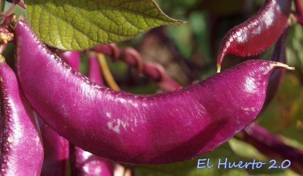 Vainas púrpuras