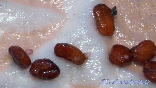 Germinado las semillas en un entorno húmedo