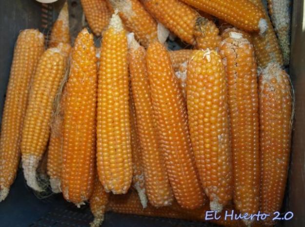 Cosecha de maíz amarillo, de palomitas