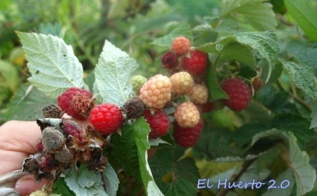 Variedad de frambuesos remontantes con alguna frutilla podrida