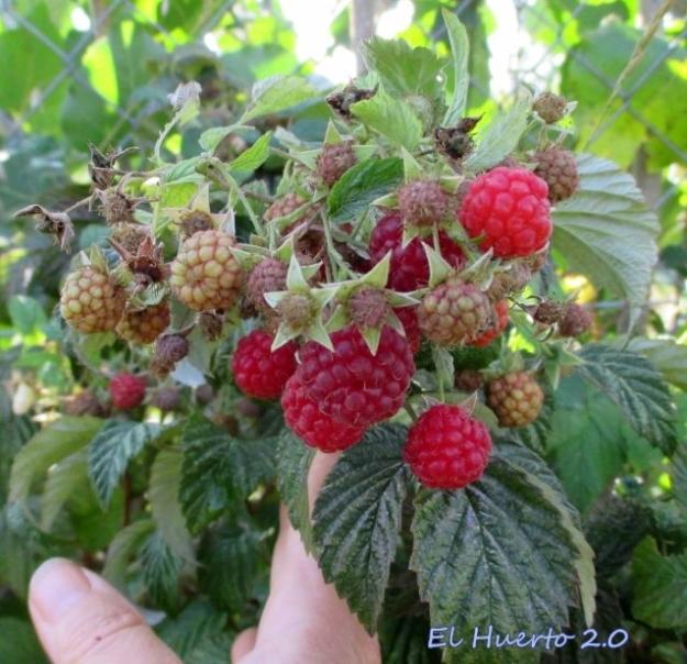 Al final de agosto cargados de fruta