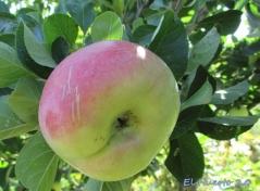 La manzana dura,  resiste a los  cuervos