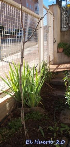 Actinidia deliciosa con soporte de bambú