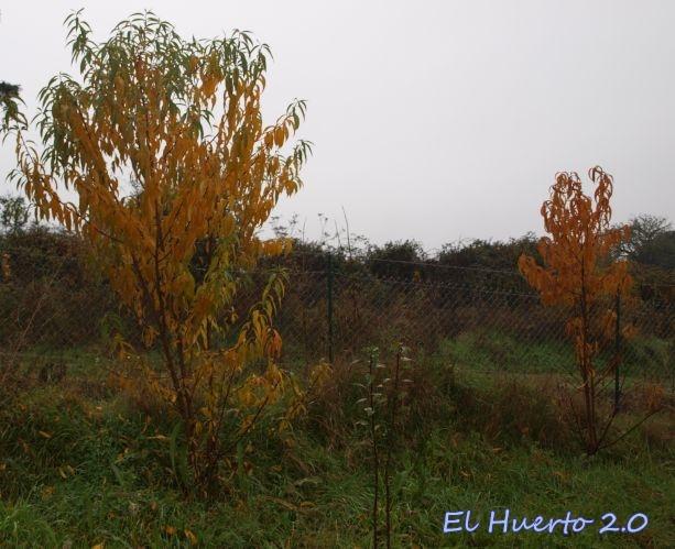 De estos melocotoneros, cayeron la hoja amarilla, pero siguen conservando la verde
