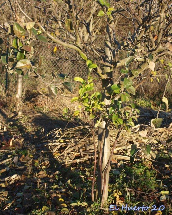Con los hijuelos en la base