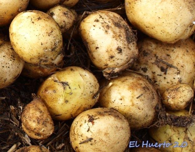Patatas del cultivo de la paja