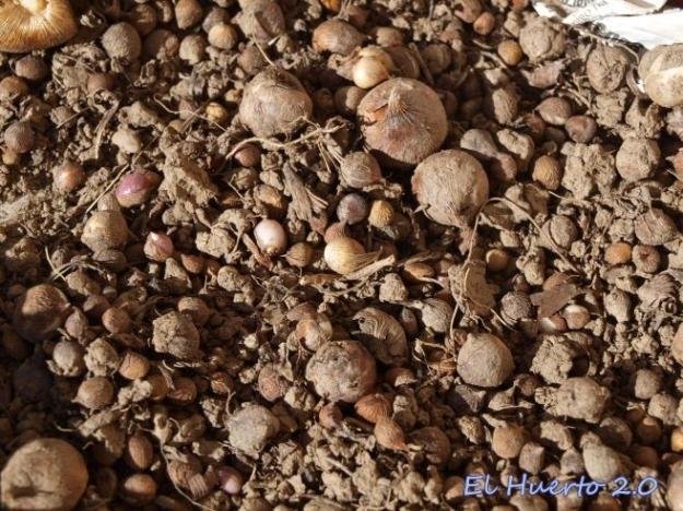 Los numerosos bulbitos nos permitiran multiplicar  las plantas