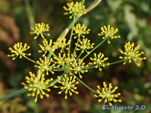 Flor del Eneldo