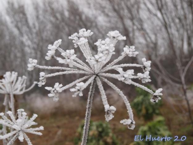 Umbrela del perejil bajo el hielo