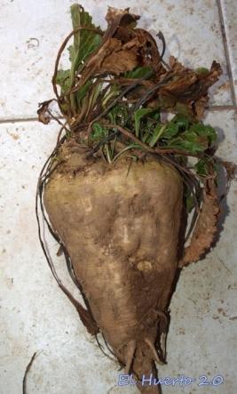 Tamaño de la raíz