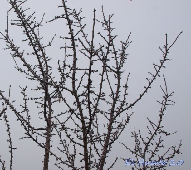 Almendro contra el cielo invernal