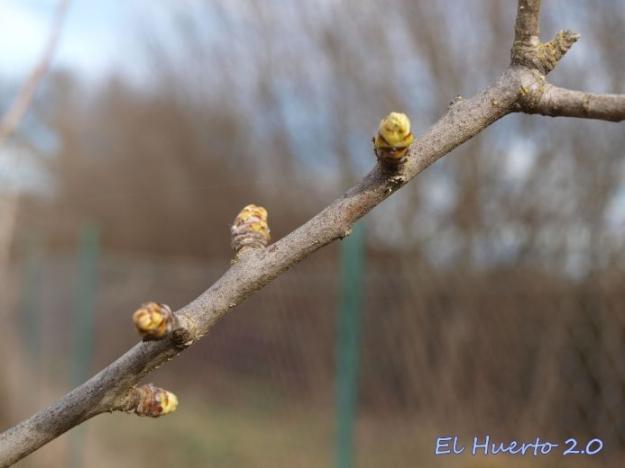 Yemas de los acerolos al final de febrero