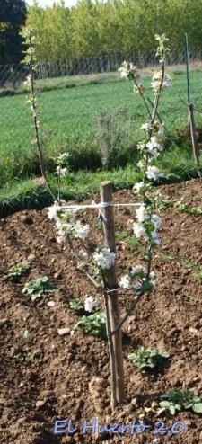 Manzana Camuesa. Los pequeño también con flor abundante