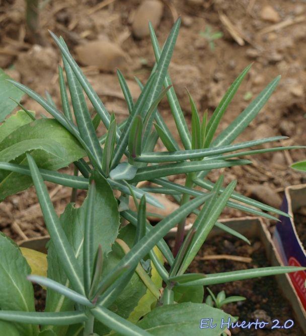 Plantas en abril de Tártago