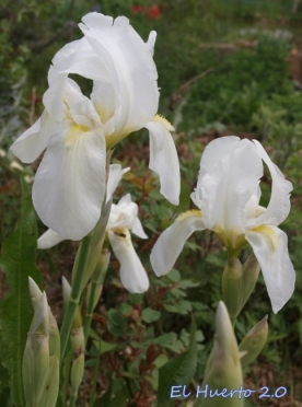 Delicadeza del Iris florentina