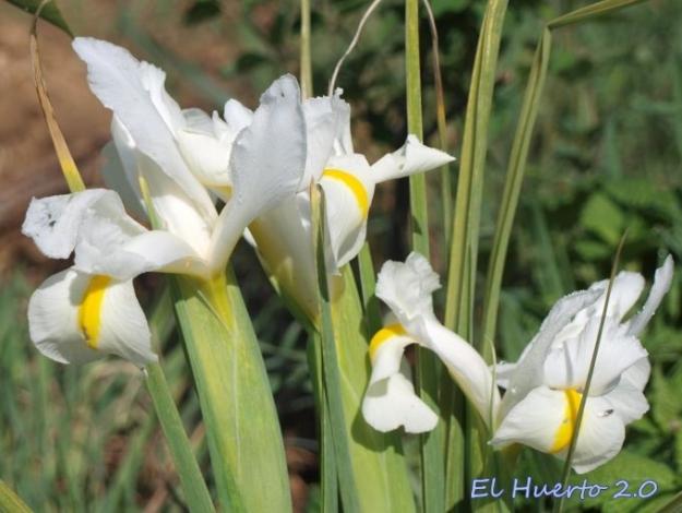Iris x , en blanco