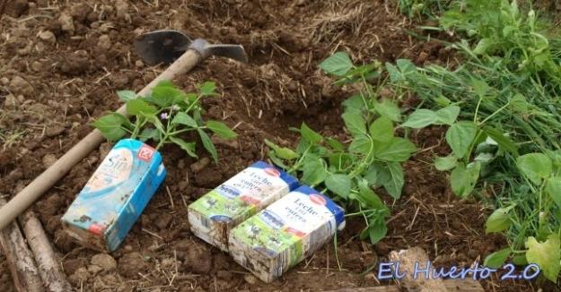 Jud as verdes el huerto 2 0 - Cultivar judias verdes ...