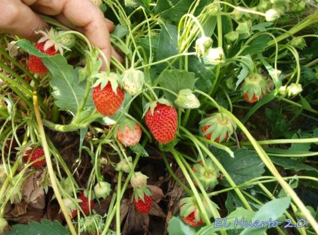 Plantas de fresas al inicio de la cosecha