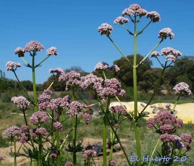Inflorescencia de la Valeriana officinalis
