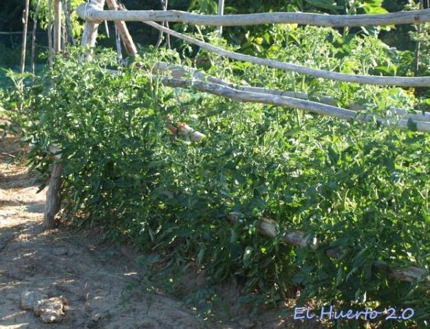 Las tomateras comienzan a superar el metro de altura