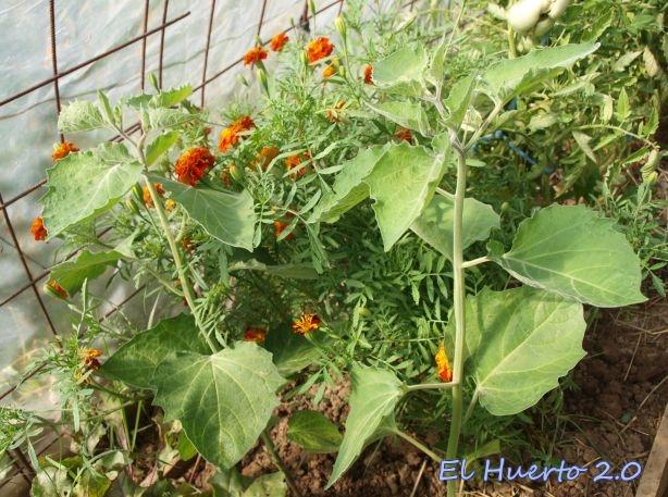 Physalis peruviana en el interior del invernadero