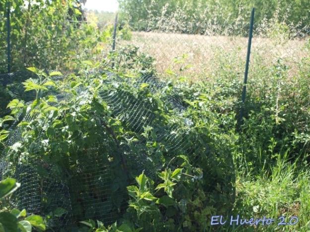 Frambuesos junto a la valla y los chopos