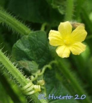 Flor masculina